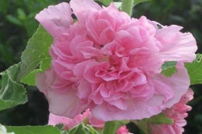 malva-Chaters-Double-Pink